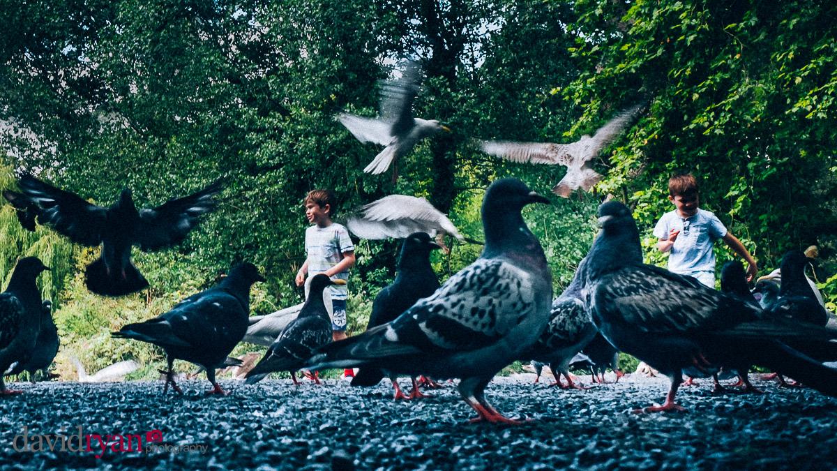 pigeons in Dublin